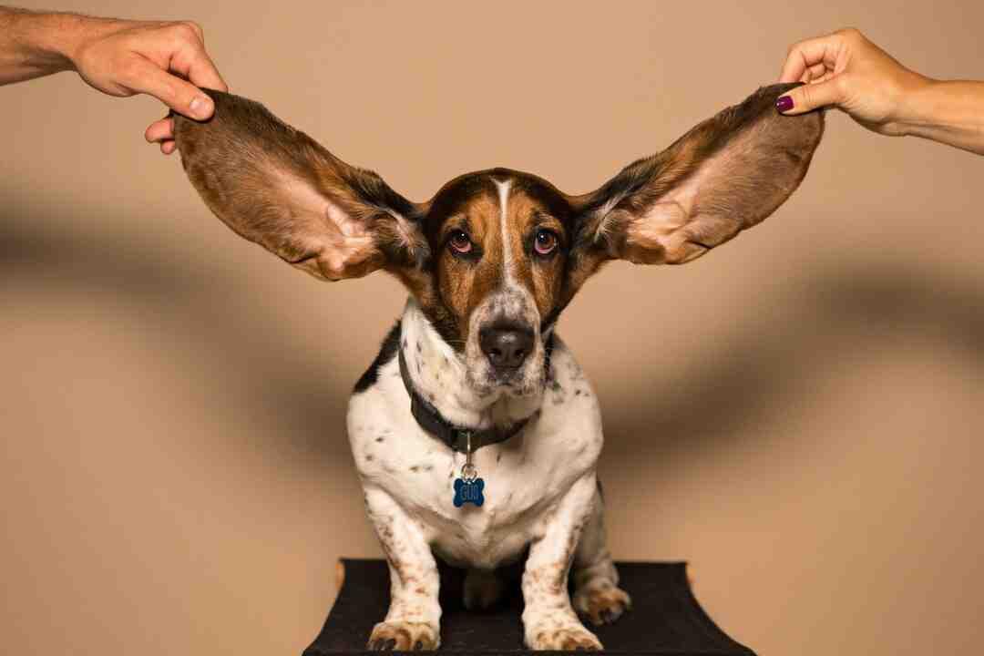 Comment faire bouger ses oreilles